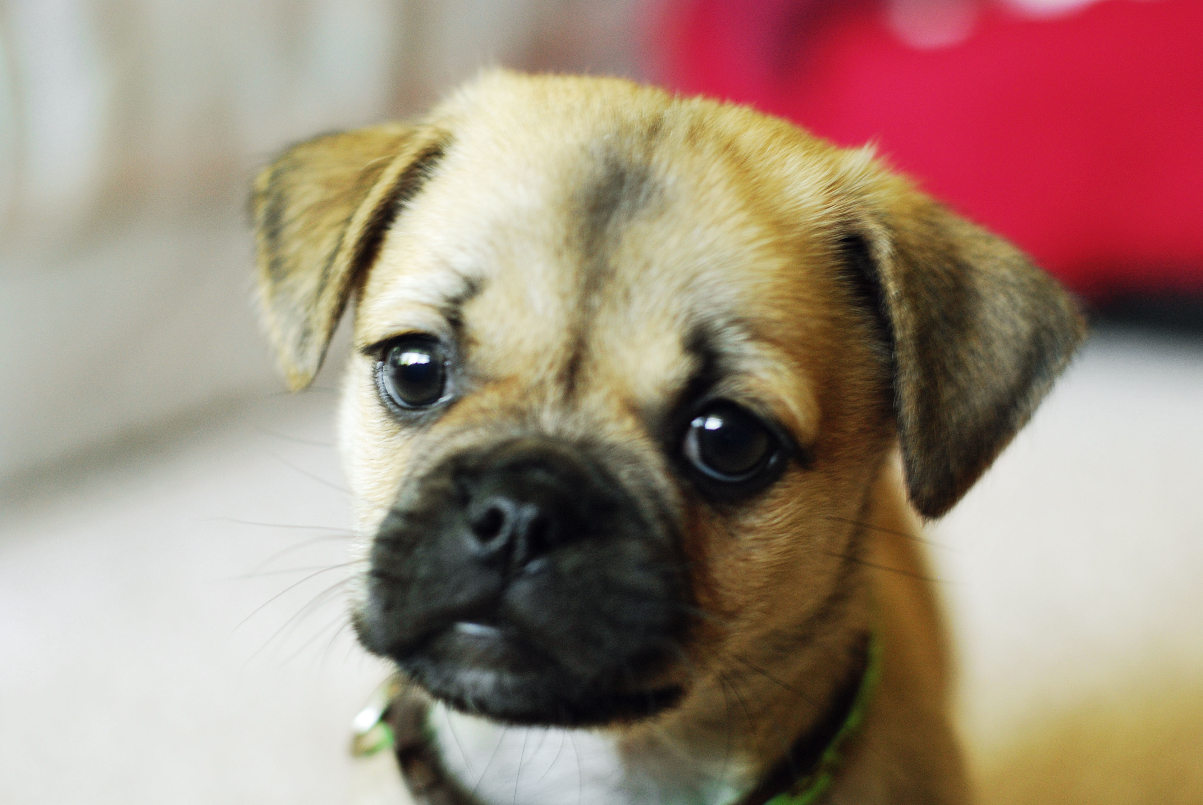 Pug Puppies are the Cutest Puppy Toob