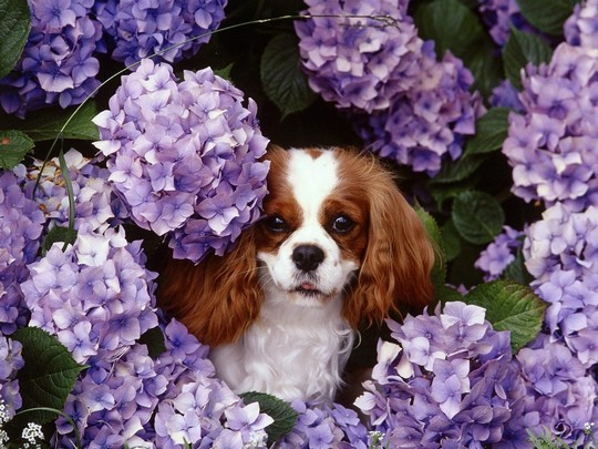 great lap dogs are cavalier king charles spaniels