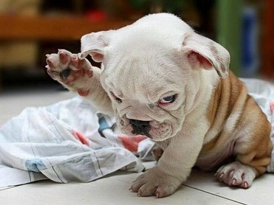 Cute Bulldog Puppy Has a Question > Puppy Toob