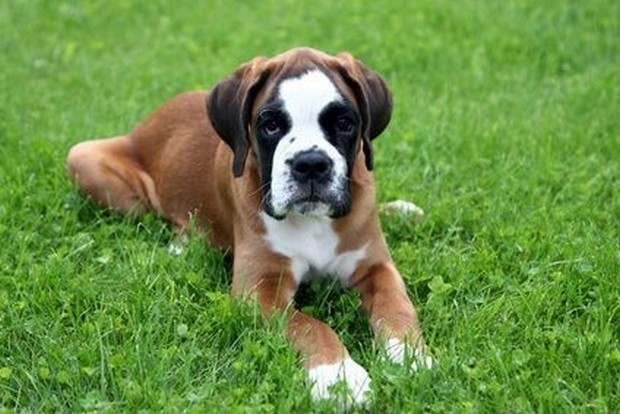 Boxer Dogs For Sale Nsw