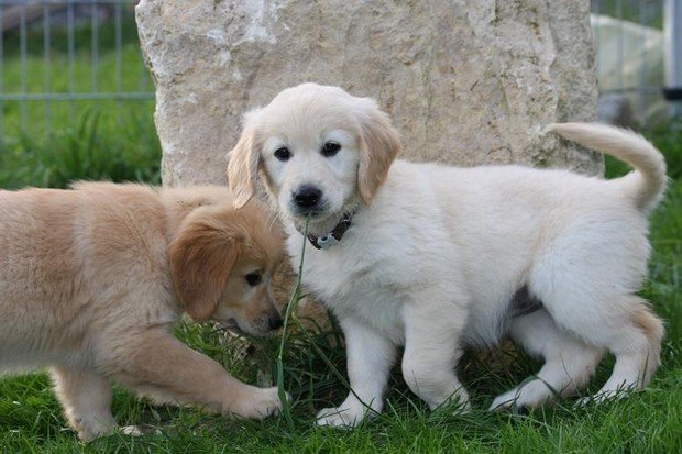 Golden_Retrievers_19