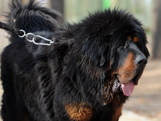 A Tibetan Mastiff is a great family dog