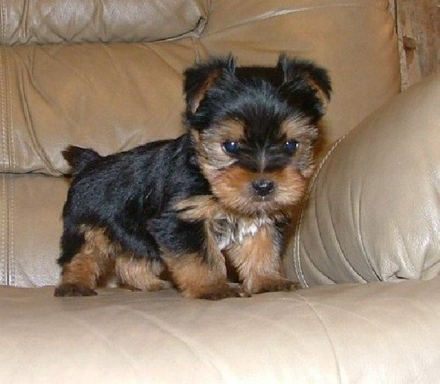 Dog Breed Of The Day The Yorkshire Terrier