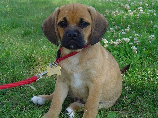 The Ten Most Por Mixed Breed Dogs
