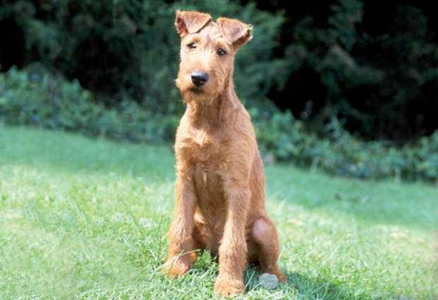 Dog Breed Of The Day Irish Terrier