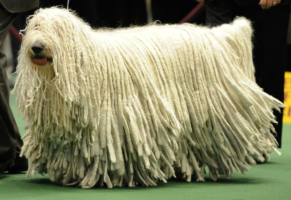 Big Dog That Looks Like A Mop