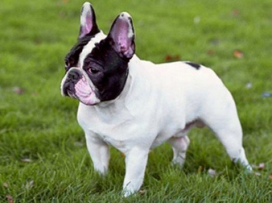 how much does a french bulldog cost french bulldog for sale why do they cost so much gt puppy 6216