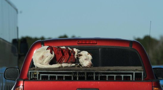 Dog In Truck Bed Law Florida