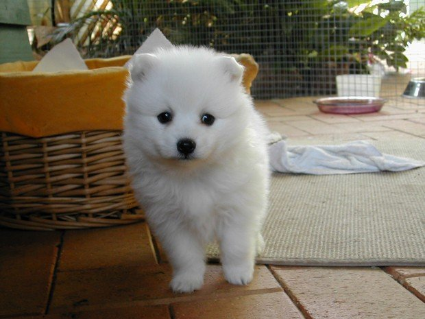 Dog Breed of the Day: Japanese Spitz Fluffy Little Dog Breeds