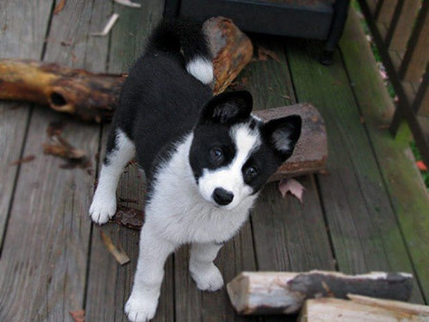Must see Cub Chubby Adorable Dog - Karelian_Bear_Dog_1  Best Photo Reference_205035  .jpg