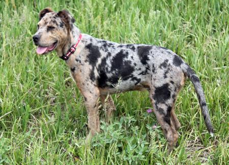 Uncommon Dog Breeds Australia