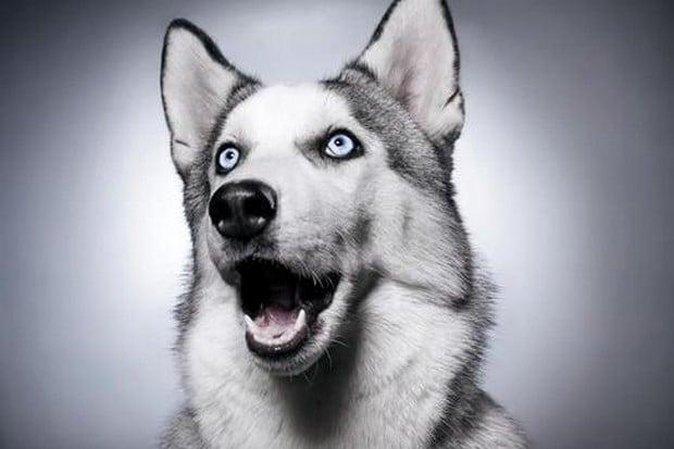 Картинки по запросу хаски с голубыми глазами