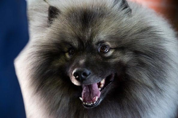 top ten fluffiest dog breeds