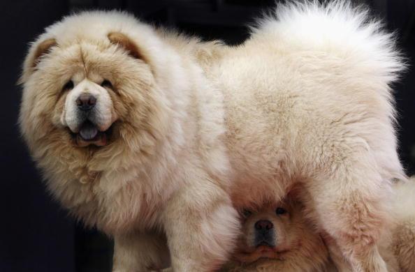 Top  Biggest Dog Breeds In Order