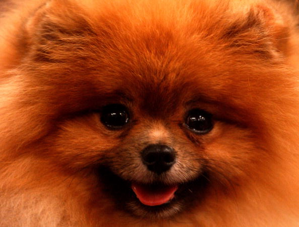 Fluffiest Dog Breeds In The World