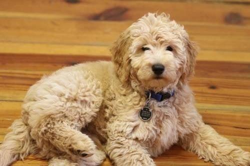 Teddy Dog Breed