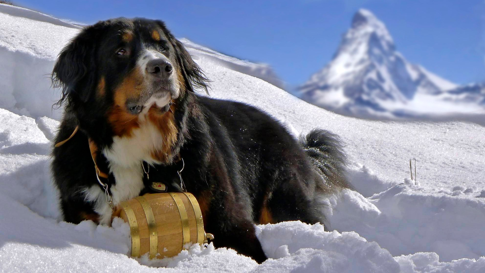 bernese mountain dog breed information and photos. Black Bedroom Furniture Sets. Home Design Ideas