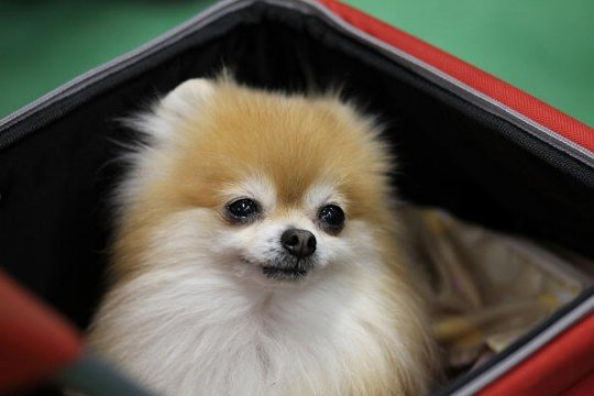 The Cutest Teacup Pomeranian Videos Of 2014