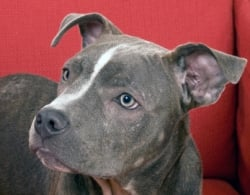 10 Things You Didn T Know About The Blue Nose Pitbull