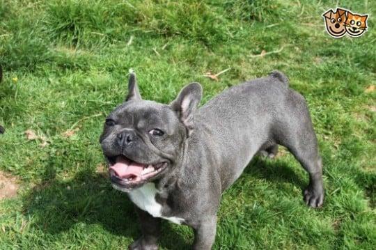 fransk bulldog blue