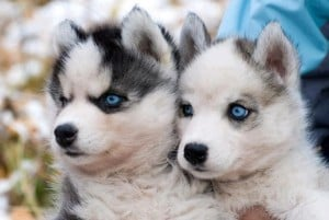 8 things you need to know before purchasing a pomeranian husky puppy toob. Black Bedroom Furniture Sets. Home Design Ideas