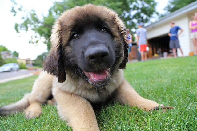 Leonberger Dog Breed Information, Buying Advice, Photos ... |Leonberger Dogs And Puppies