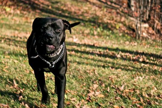 how to train an aggressive pitbull puppy
