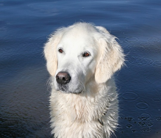 The English Golden Retriever: Not A Different Breed But A