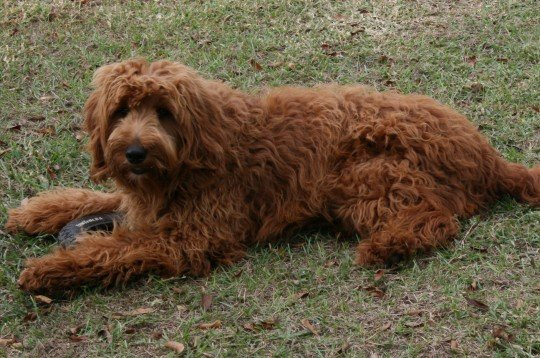 The Benefits Of Choosing An Adult Goldendoodle From A Rescue Puppy