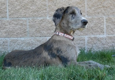 Why The Great Dane Poodle Mix Makes A Great Pet Gt Puppy Toob