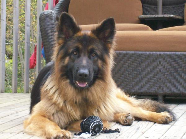 Fast In German >> The Long Haired German Shepherd: A Noble and Hard Working Service Dog Breed > Puppy Toob
