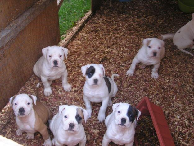 american bulldog breeder american bulldog puppies 5 tips for taking care of them 3408