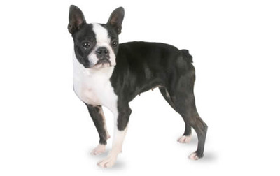 Boston Terriers have an interesting background