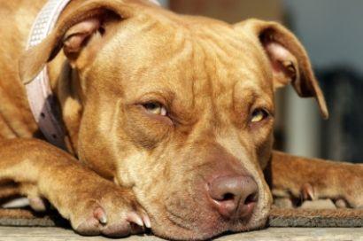 Full grown female red nose pitbull