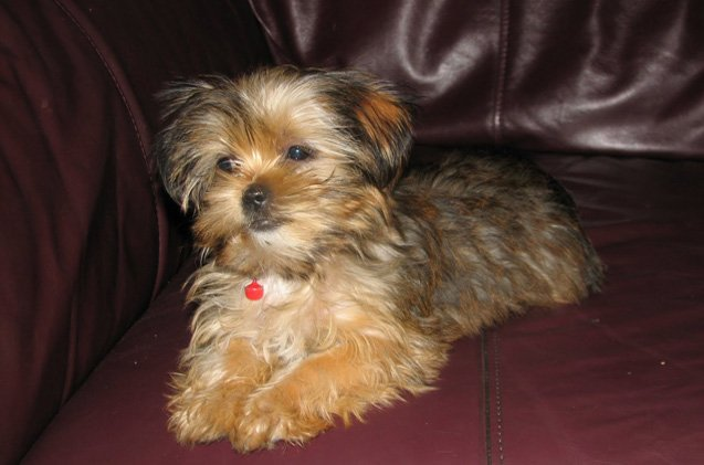 What Does A Shorkie Dog Look Like