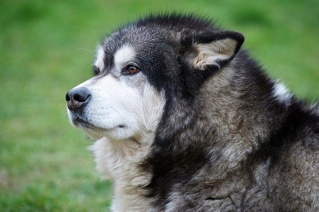 The Giant Alaskan Malamute A Truly Large And Loving