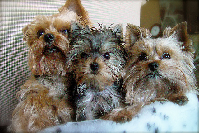 Three Very Attractive Yorkie Haircuts Puppy Toob