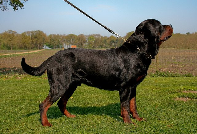 Should You Consider Importing A German Rottweiler Puppy Toob