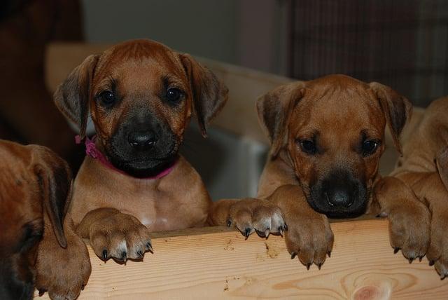 Amazing Rhodesian Ridgeback Brown Adorable Dog - 4819582242_a423e34464_z  Perfect Image Reference_75959  .jpg
