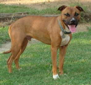 What Is A Boxer Pitbull Mix Puppy Toob