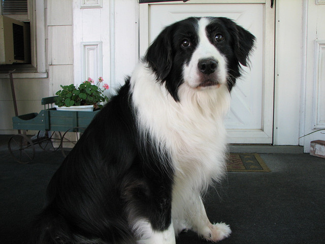 collie and lab mix