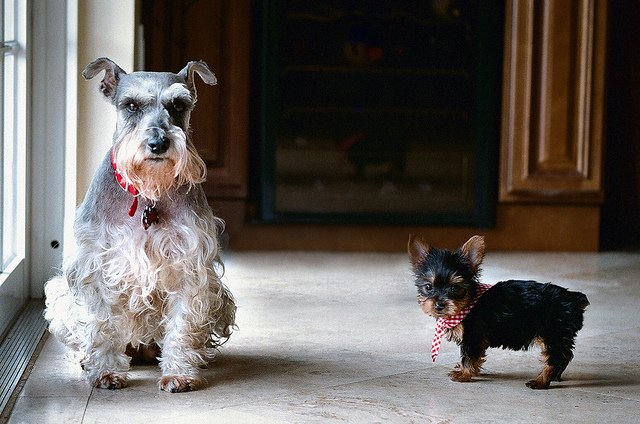 The Teacup Schnauzer A Truly Tiny Dog Gt Puppy Toob