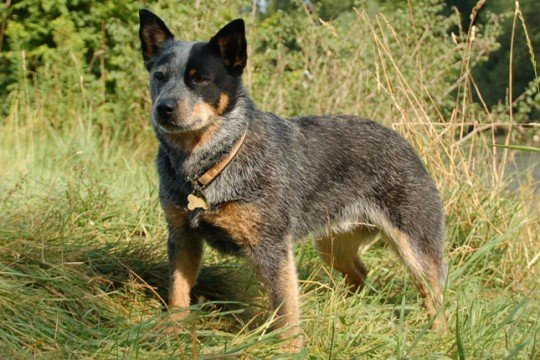 Potty Training A Cattle Dog