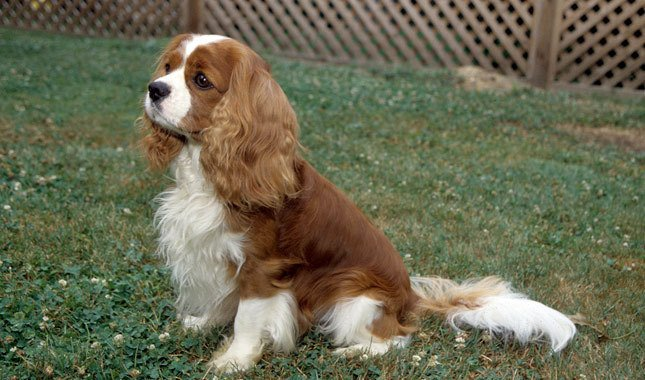Fun facts about the adorable cavalier king charles spaniel altavistaventures Image collections