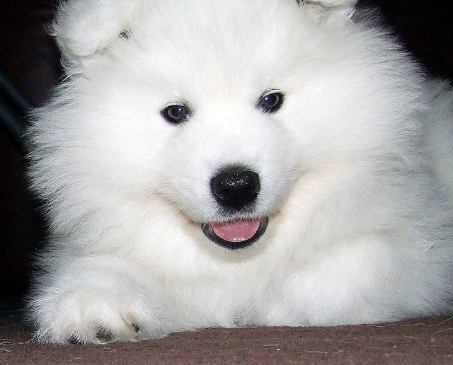 The siberian samoyed one of the most beautiful working dogs siberian samoyed voltagebd Image collections