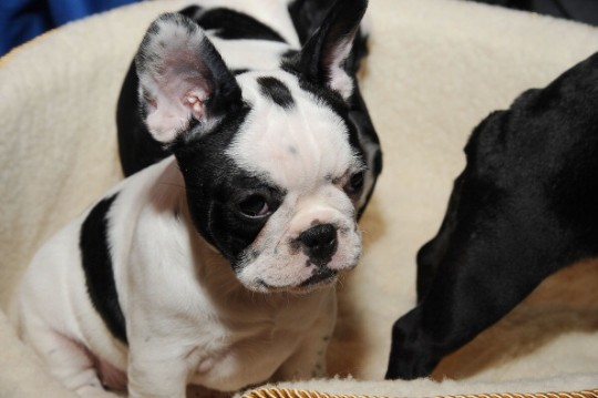 Fun Facts about the Adorable French Bulldog > Puppy Toob