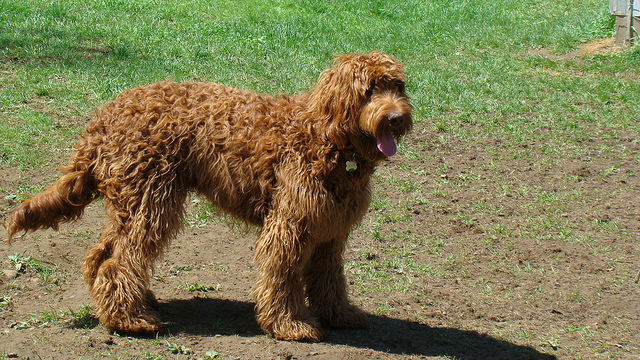 The Red Goldendoodle: A True Family Friend > Puppy Toob Adult Goldendoodle