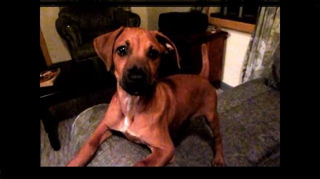 Black Rhodesian Ridgeback Puppies For Sale