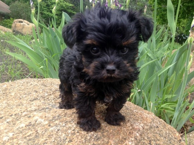 30 Yorkies Mixed With Poodle – The Paws  |Yorkie Poodle