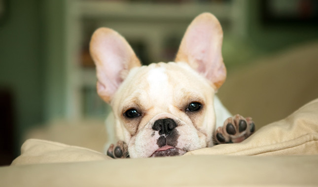 Cute little dogs that dont grow
